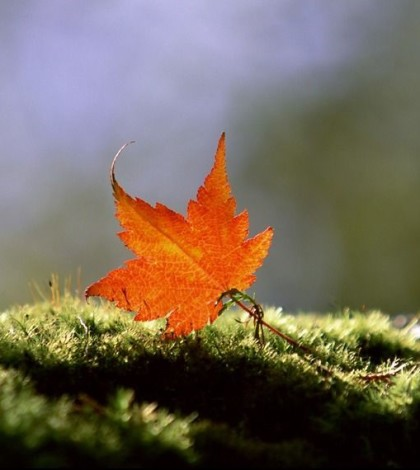 maple-leaf-4